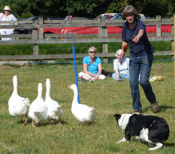 geese with sheepdog